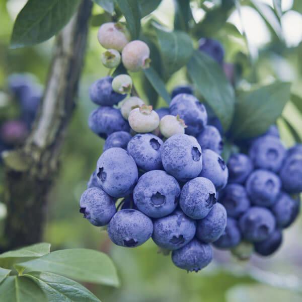 o'neal-blueberry